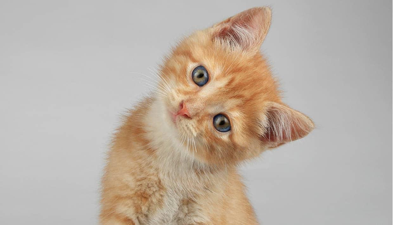 Katze mit geneigtem Kopf